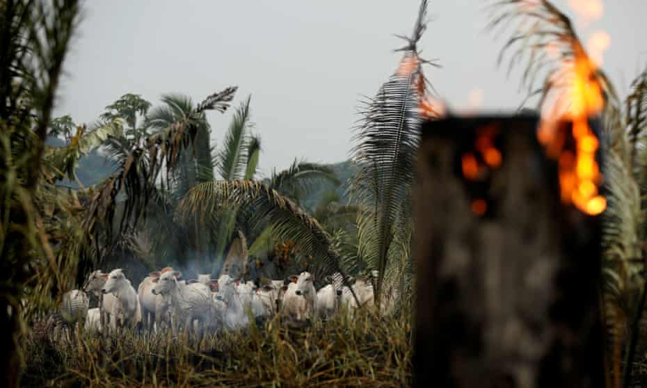 Cattle are seen amid smoke in a burning tract of the Amazon jungle as it is cleared by loggers and farmers in Apui, Amazonas state, Brazil, 3 September 2019.