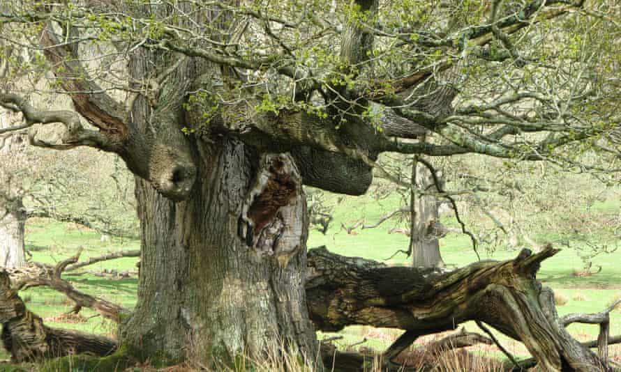 A massive oak tree with fallen branches