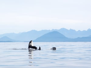 Orcas, Vancouver, British Columbia