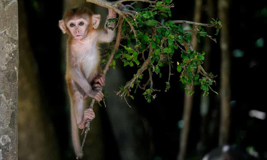 There is a thriving online trade in animals such as macaque monkeys (pictured), tiger cubs, bats or even freshly barbecued wildlife. They are bought as status symbols, pets, food, or to be used in traditional medicines.