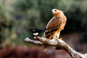 A young Spanish imperial eagle (Aquila adalberti) sits next to a magpie.