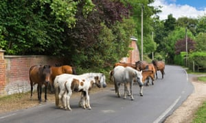 New Forest ponies on a road