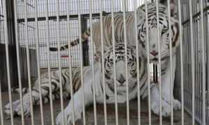 circus tigers in cage