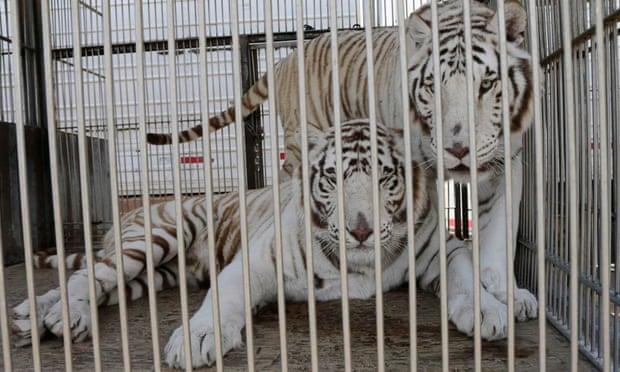 tigres circo de méxico