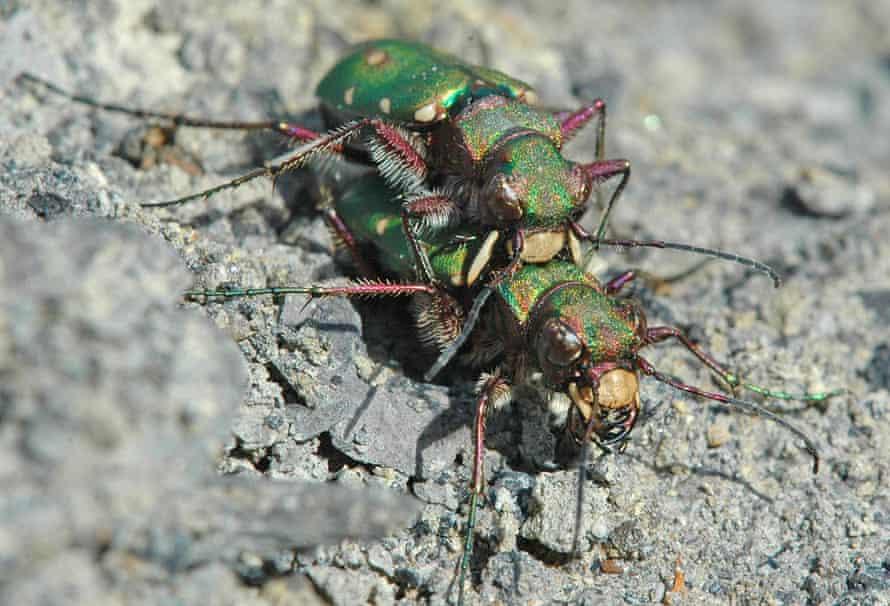 Green tiger beetles mating