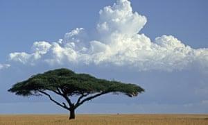 Umbrella thorn, Acacia tortilis on the predominantly featureless open longer grassland east of Seronera, Serengeti, Tanzania. Tree in field