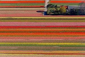 Tulip, hyacinth and daffodil bulb fields in Lisse, the Netherlands