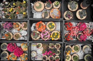 Cacti sit in boxes before being set out for display