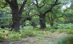 Oak trees in The Thicks, Staverton forest, Suffolk.