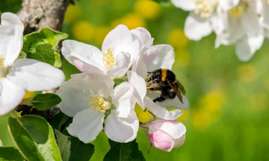 Bumblebees are major pollinators of apples and many crops around the world.