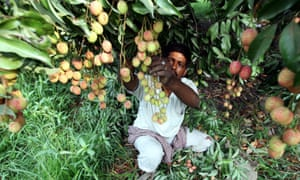 a worker picks lychees from a tree in india