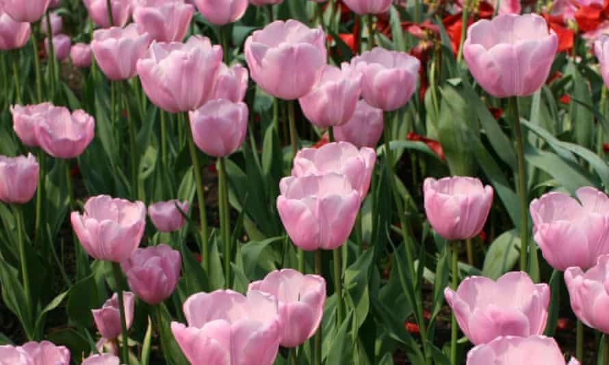 Tulipa 'Pink Diamond'.