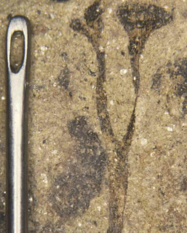A Cooksonia fossil.