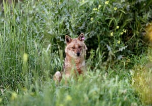A jackal peeks out of a bush by a field in Lebanon's northern coastal city of Byblos
