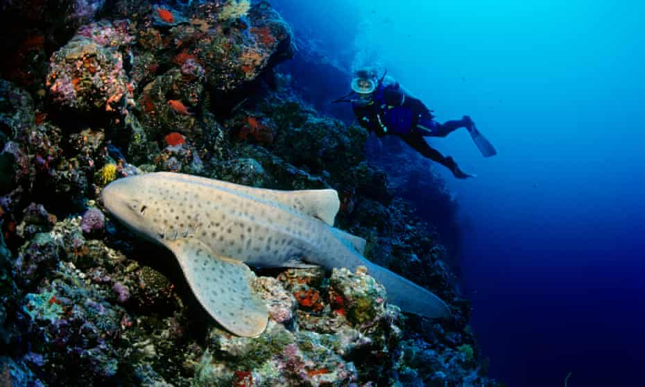 A zebra shark (Stegostoma tigrinum) off the Maldives in the Indian Ocean. A project to reintroduce this endangered species to West Papua begins in November.