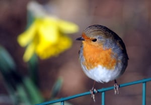 A robin and a daffodil basking in winter sunshine at the Cotswold Wildlife Park in Oxfordshire, England