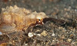 A pegasus sea moth (Eurypegasus draconis) in the Lembeh Straits, Sulawesi, Indonesia.