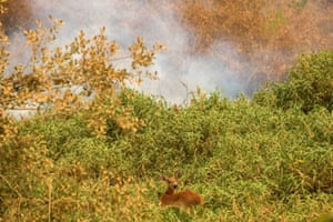 A deer tries to escape a fire, which is threatening hundreds of species in the region