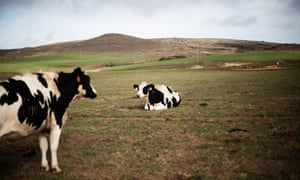 Dairy cows graze on pasture land in the Point Reyes National Seashore in California.