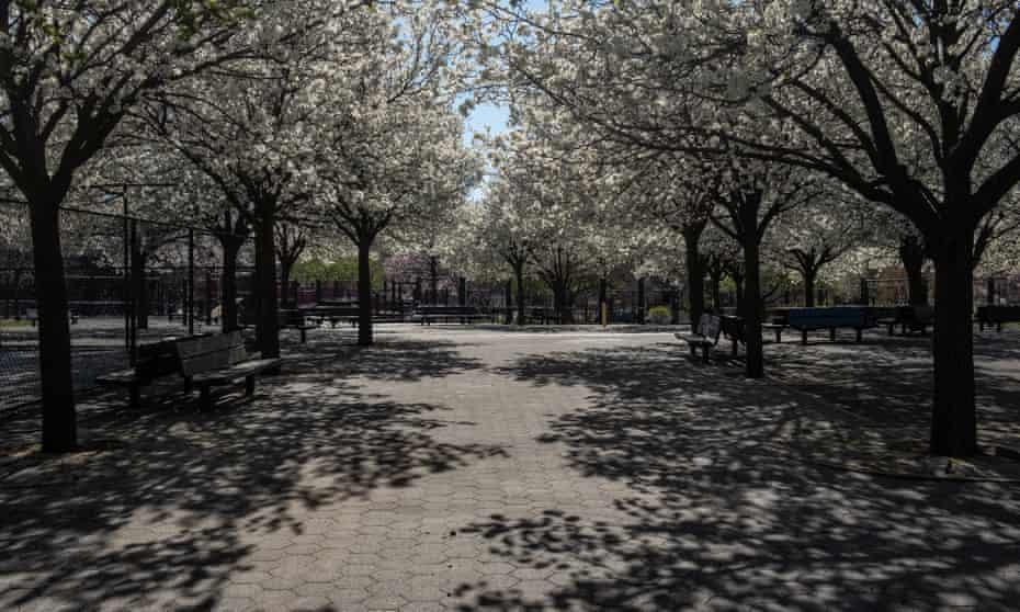 Cherry blossom, March 2020.