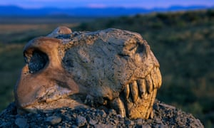 Fossil skull of Dinogorgon Rubidgei, sitting on a gravel pile overlooking the Nardou Mountains to the east, was collected in South Africa. This fossil is one of many Therapsida which did not survive the Permian extinction, one of the most disastrous extinctions known.