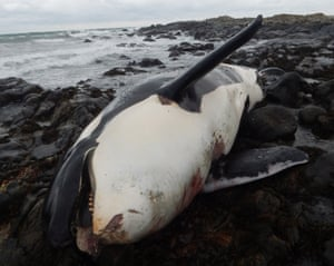 The killer whale, Lulu, was found dead on the island of Tiree