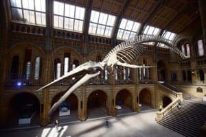 London, England A blue whale skeleton is unveiled in the Hintze hall at the Natural History Museum