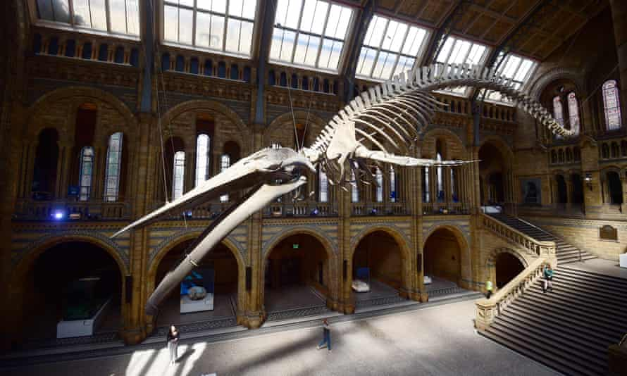 A giant blue whale skeleton is unveiled in the Hintze Hall at the Natural History Museum, London, Britain July 13, 2017.