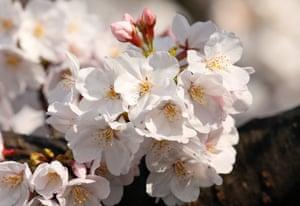 A closeup of cherry blossoms