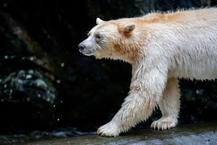 The bears are so rare that study co-author Douglas Neasloss once did not believe they existed.
