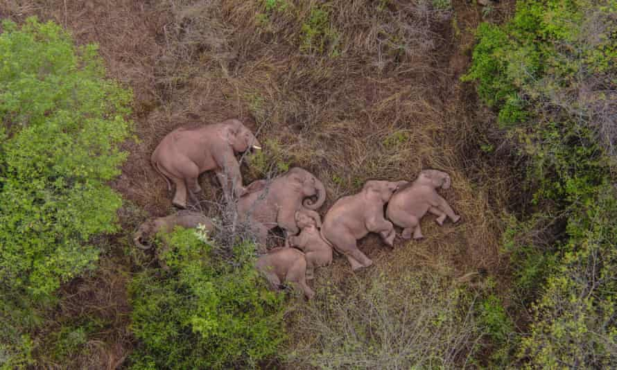 Of the 15 elephants, one male has broken free from the herd and is currently about 4km to the northeast of the group, according to the on-site command tracking the elephants