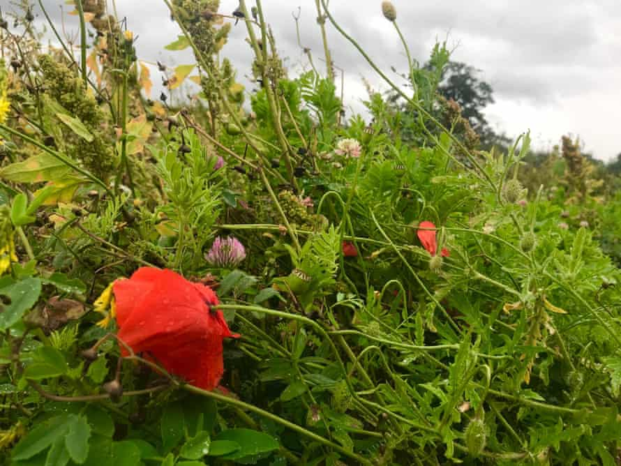 'Around the main crop of millet and sunflowers is a waist-deep tangle of clover, vetch, poppies, melilots and milk thistle.'