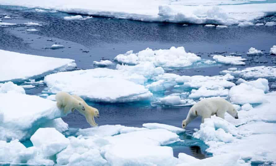 polar bear cubs ice