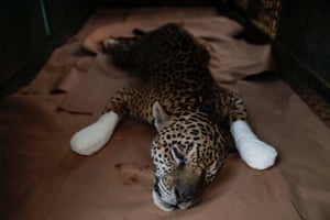 An adult male jaguar named Ousado rests during treatment for burn injuries in Corumbá de Goiás, Brazil