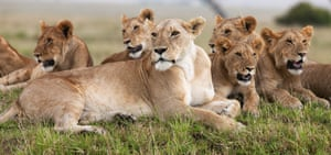 Lioness and adolescents lying down in Maasai Mara National Reserve, Kenya