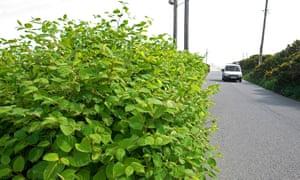 Japanese knotweed growing beside a road