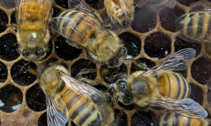 Honeybees perform a waggle dance to persuade the rest of the swarm that they have located a good site for a new colony.
