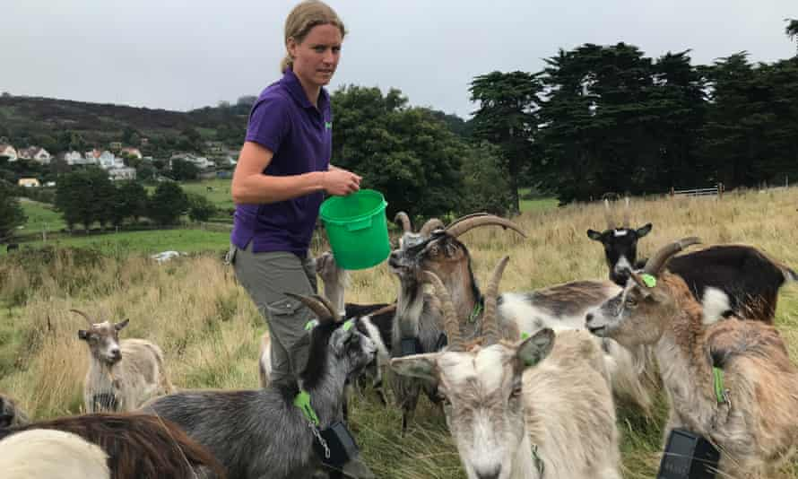 Melissa Jeuken offers a snack to her goat herd in Howth, County Dublin.