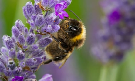 Buff-tailed bumblebee (Bombus terrestris) on lavender, one of the most bee-friendly plants.