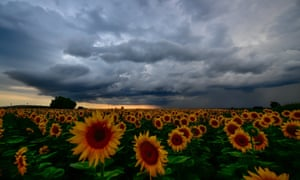 Storm clouds cover the sky above a field of blooming sunflowers