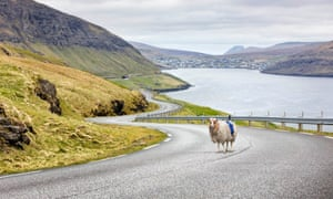 A sheep mounted with a 360-degree camera on the Faroe islands