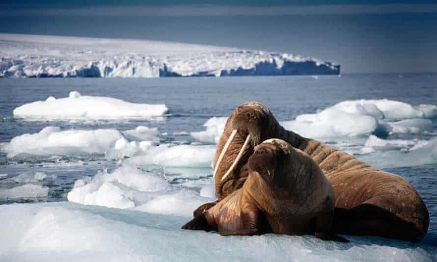 Walruses seen in Blue Planet II