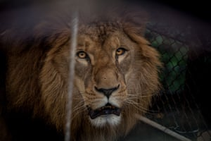 A lion rescued from a circus