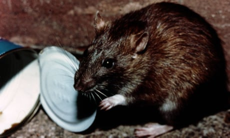 Waging war against the brown rat - Country diary, 24 April 1918