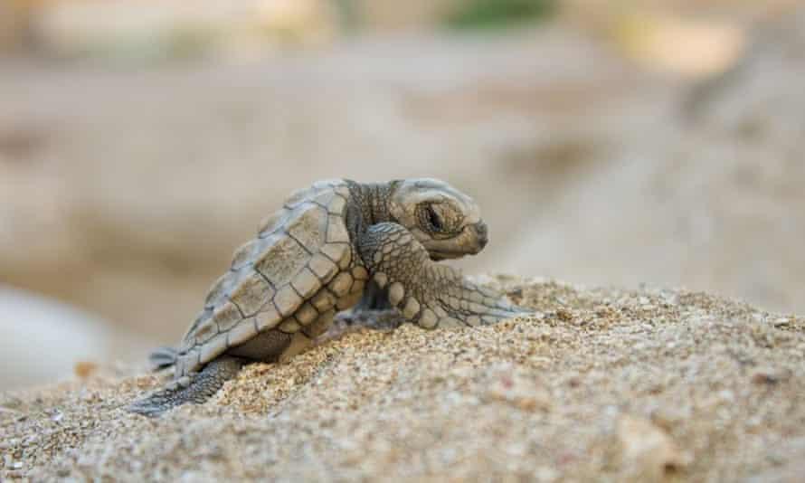 An Olive Ridley sea turtle hatchling at Refugio Vida Silvestre La Flor. Playa La Flor, Nicaragua.