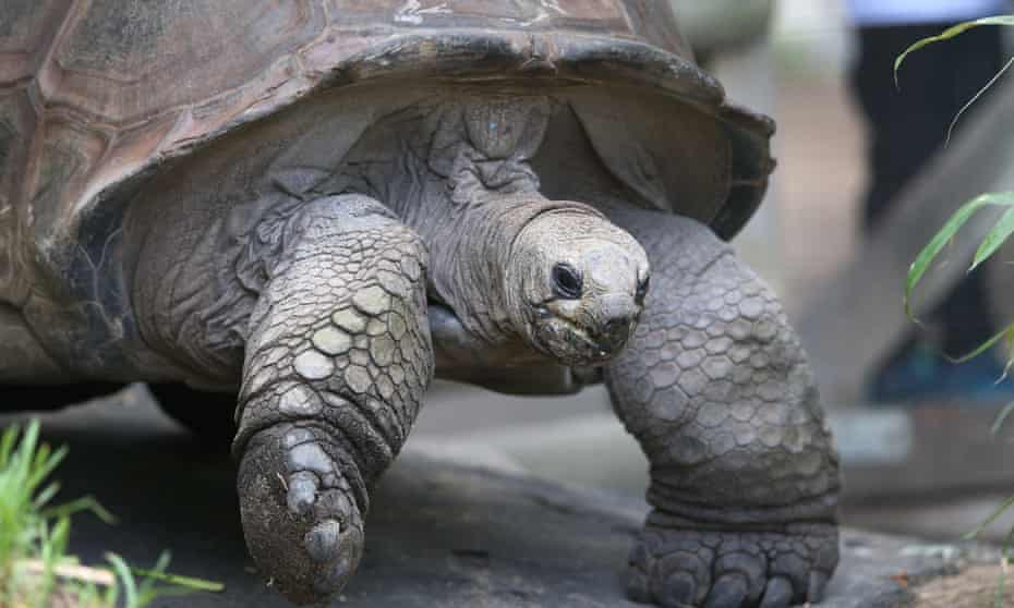 Wilbur the giant tortoise