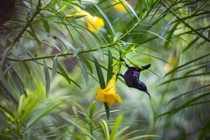 A sunbird sucks nectar from flowers during monsoon season in Dhaka, Bangladesh. The species is mainly found in south Asia