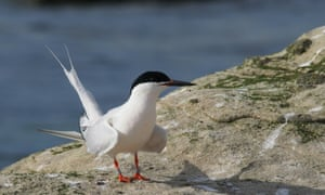 Coquet is a key nesting site for roseate terns.