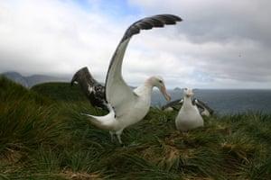 An albatrross