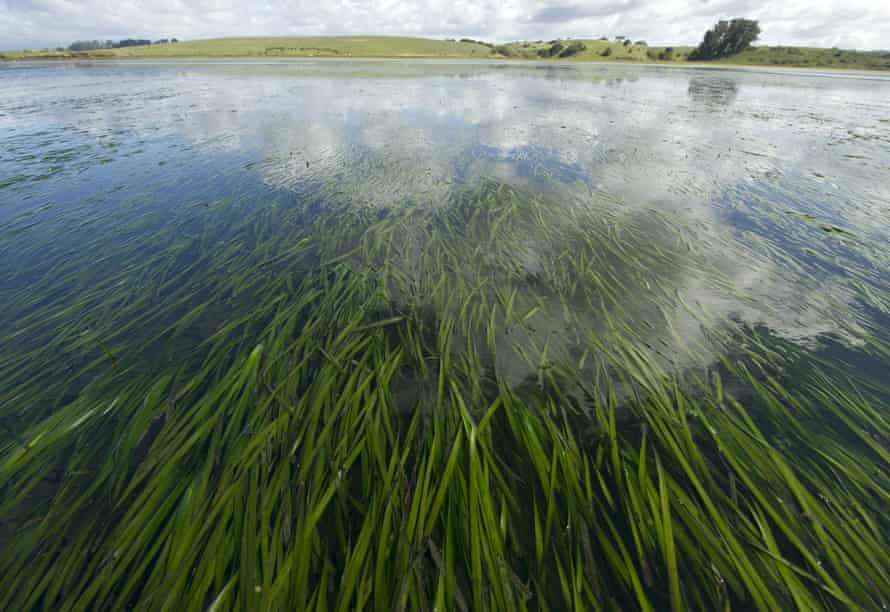 Seagrass in the Elkhorn Slough estuary.